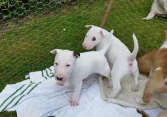 Maxcotea | Foto de yolanda - Perro, Raza: Bull Terrier | Maxcotea, Adopción de mascotas. Adopción de perros. Adopción de gatos.