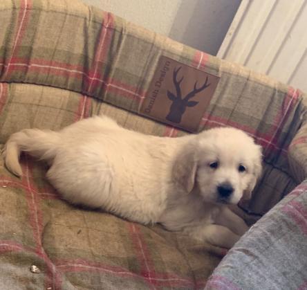 Maxcotea | Foto de Maria - Perro, Raza: Golden Retriever | Maxcotea, Adopción de mascotas. Adopción de perros. Adopción de gatos.