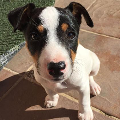 Maxcotea | Foto de Elsa  - Perro, Raza: Bodeguero Andaluz | Maxcotea, Adopción de mascotas. Adopción de perros. Adopción de gatos.