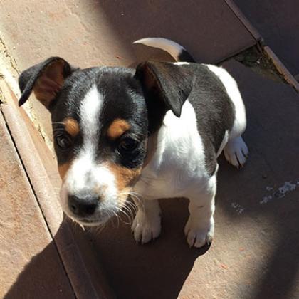 Maxcotea | Foto de Ana  - Perro, Raza: Bodeguero Andaluz | Maxcotea, Adopción de mascotas. Adopción de perros. Adopción de gatos.