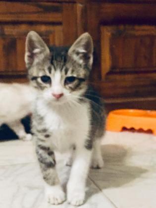 Maxcotea | Foto de Goku - Gato, Raza: Gato común europeo | 🌸Goku🌸 | Maxcotea, Adopción de mascotas. Adopción de perros. Adopción de gatos.