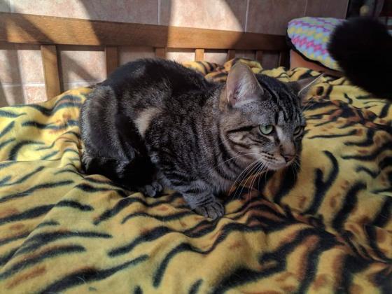 Maxcotea | Foto de Zipi - Gato, Raza: Gato común europeo | Maxcotea, Adopción de mascotas. Adopción de perros. Adopción de gatos.