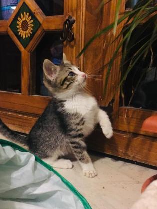 Maxcotea | Foto de Goku - Gato, Raza: Gato común europeo | Maxcotea, Adopción de mascotas. Adopción de perros. Adopción de gatos.