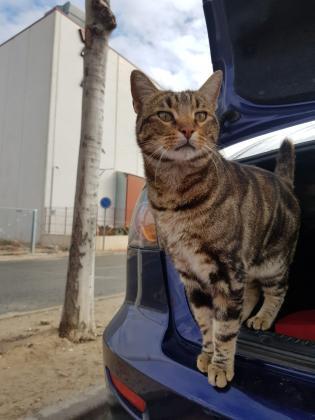 Maxcotea | Foto de Tiger - Gato, Raza: Gato común europeo | Maxcotea, Adopción de mascotas. Adopción de perros. Adopción de gatos.