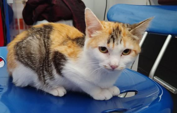 Maxcotea | Foto de Nefer - Gato, Raza: Gato común europeo | Maxcotea, Adopción de mascotas. Adopción de perros. Adopción de gatos.