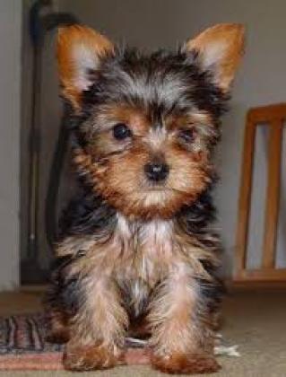 Maxcotea | Foto de Nueva camada yorkshire terrier - Perro, Raza: Yorkshire terrier | Maxcotea, Adopción de mascotas. Adopción de perros. Adopción de gatos.