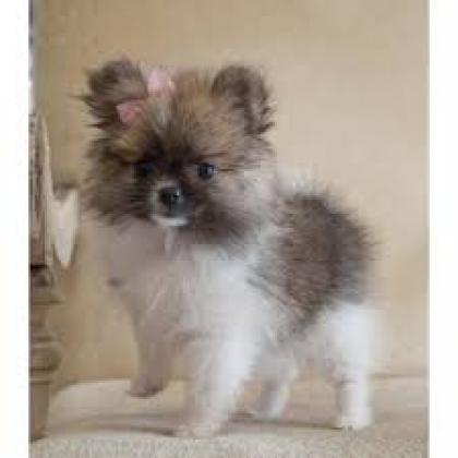Maxcotea | Foto de pomeranian para adopción - Perro, Raza: Pomerania | Maxcotea, Adopción de mascotas. Adopción de perros. Adopción de gatos.
