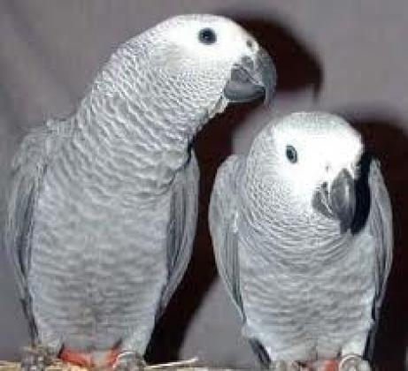 Maxcotea | Foto de Loros africanos grises. - Ave, Raza: Loro | Maxcotea, Adopción de mascotas. Adopción de perros. Adopción de gatos.