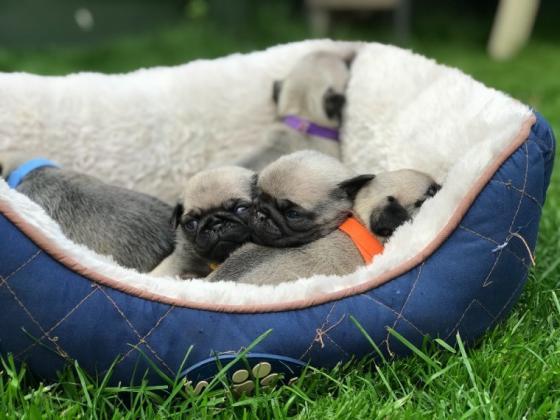 Maxcotea | Foto de Pug Carlino - Perro, Raza: Carlino | Maxcotea, Adopción de mascotas. Adopción de perros. Adopción de gatos.