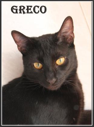Maxcotea | Foto de Greco - Gato, Raza: Gato común europeo | Maxcotea, Adopción de mascotas. Adopción de perros. Adopción de gatos.