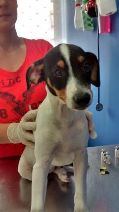 Maxcotea | Foto de Manchita - Perro, Raza: Bodeguero Andaluz | Maxcotea, Adopción de mascotas. Adopción de perros. Adopción de gatos.
