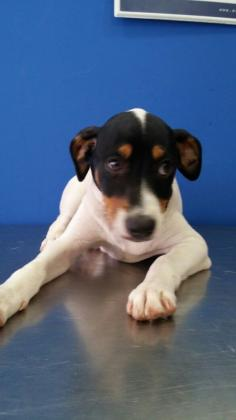 Maxcotea | Foto de Sanson - Perro, Raza: Bodeguero Andaluz | Maxcotea, Adopción de mascotas. Adopción de perros. Adopción de gatos.