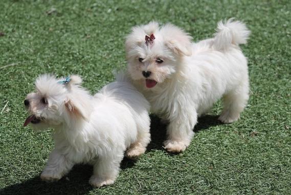 Maxcotea | Foto de maria - Perro, Raza: Bichon maltes | Maxcotea, Adopción de mascotas. Adopción de perros. Adopción de gatos.