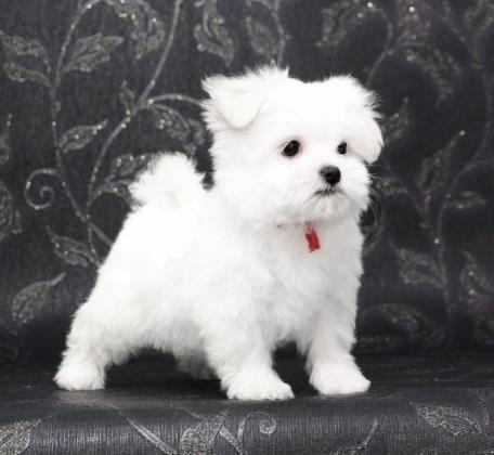 Maxcotea | Foto de edith - Perro, Raza: Bichon maltes | Maxcotea, Adopción de mascotas. Adopción de perros. Adopción de gatos.