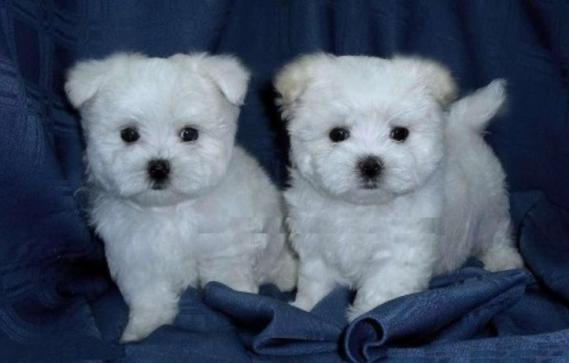 Maxcotea | Foto de puala - Perro, Raza: Bichon maltes | Maxcotea, Adopción de mascotas. Adopción de perros. Adopción de gatos.