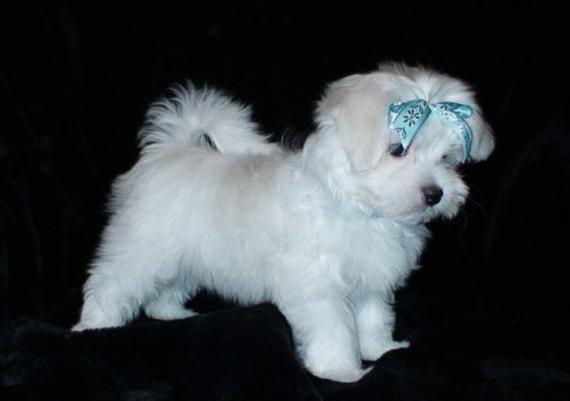Maxcotea | Foto de ginia - Perro, Raza: Bichon maltes | Maxcotea, Adopción de mascotas. Adopción de perros. Adopción de gatos.