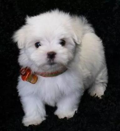 Maxcotea | Foto de lura - Perro, Raza: Bichon maltes | Maxcotea, Adopción de mascotas. Adopción de perros. Adopción de gatos.
