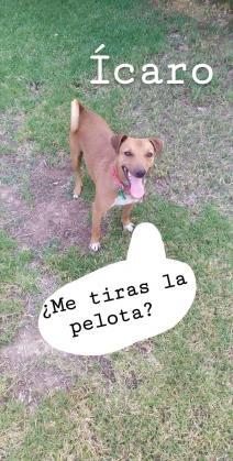 Maxcotea | Foto de Ícaro - Perro, Raza: Pinscher | Maxcotea, Adopción de mascotas. Adopción de perros. Adopción de gatos.