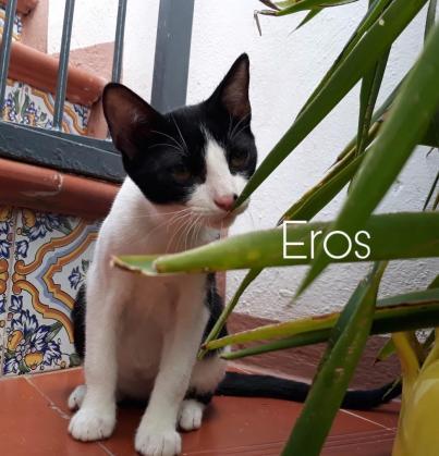 Maxcotea | Foto de Eros - Gato, Raza: Otro | Eros.  | Maxcotea, Adopción de mascotas. Adopción de perros. Adopción de gatos.