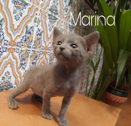 Maxcotea | Foto de Marina - Gato, Raza: Abisinio | Marina | Maxcotea, Adopción de mascotas. Adopción de perros. Adopción de gatos.