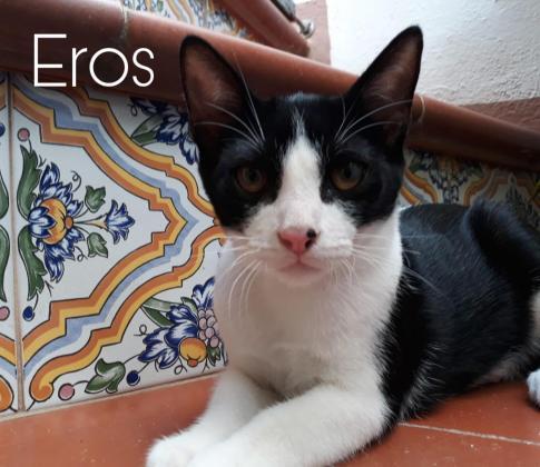 Maxcotea | Foto de Eros - Gato, Raza: Otro | Maxcotea, Adopción de mascotas. Adopción de perros. Adopción de gatos.