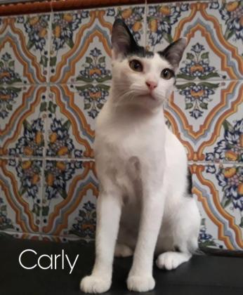 Maxcotea | Foto de Carly - Gato, Raza: Otro | Maxcotea, Adopción de mascotas. Adopción de perros. Adopción de gatos.