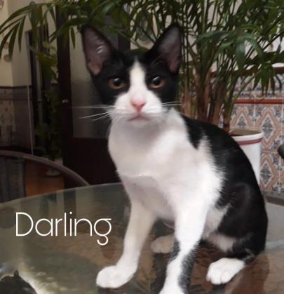 Maxcotea | Foto de Darling - Gato, Raza: Otro | Maxcotea, Adopción de mascotas. Adopción de perros. Adopción de gatos.