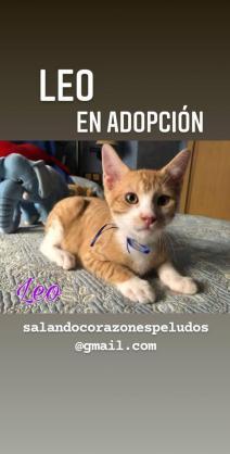 Maxcotea | Foto de Leo - Gato, Raza: Otro | Maxcotea, Adopción de mascotas. Adopción de perros. Adopción de gatos.
