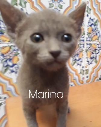 Maxcotea | Foto de Marina - Gato, Raza: Abisinio | Maxcotea, Adopción de mascotas. Adopción de perros. Adopción de gatos.