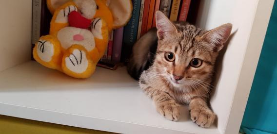 Maxcotea   Foto de Kimbo - Gato, Raza: Gato común europeo   Maxcotea, Adopción de mascotas. Adopción de perros. Adopción de gatos.