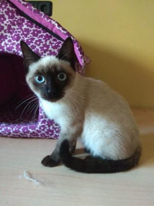 Maxcotea   Foto de Tyron - Gato, Raza: Gato común europeo   Maxcotea, Adopción de mascotas. Adopción de perros. Adopción de gatos.