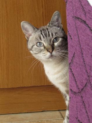 Maxcotea | Foto de Miko - Gato, Raza: Gato común europeo | Maxcotea, Adopción de mascotas. Adopción de perros. Adopción de gatos.