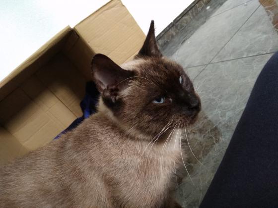 Maxcotea | Foto de Chocolatina - Gato, Raza: Siames | Maxcotea, Adopción de mascotas. Adopción de perros. Adopción de gatos.