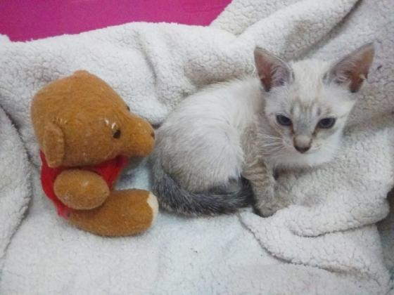 Maxcotea | Foto de Alana - Gato, Raza: Siames | Maxcotea, Adopción de mascotas. Adopción de perros. Adopción de gatos.