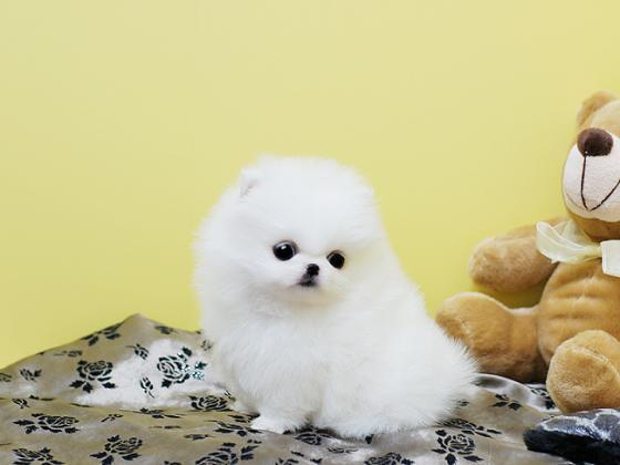 Maxcotea | Foto de sasha pom - Perro, Raza: Pomerania | Maxcotea, Adopción de mascotas. Adopción de perros. Adopción de gatos.
