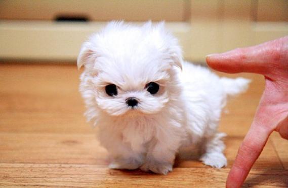 Maxcotea | Foto de bichon - Perro, Raza: Bichon maltes | Maxcotea, Adopción de mascotas. Adopción de perros. Adopción de gatos.