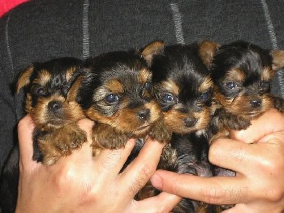 Maxcotea | Foto de yorki - Perro, Raza: Yorkshire terrier | Maxcotea, Adopción de mascotas. Adopción de perros. Adopción de gatos.