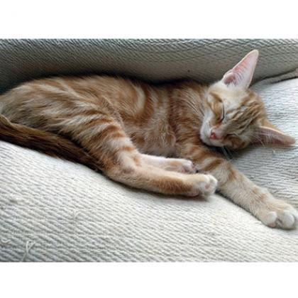 Maxcotea | Foto de Azafrán - Gato, Raza: Abisinio | Maxcotea, Adopción de mascotas. Adopción de perros. Adopción de gatos.