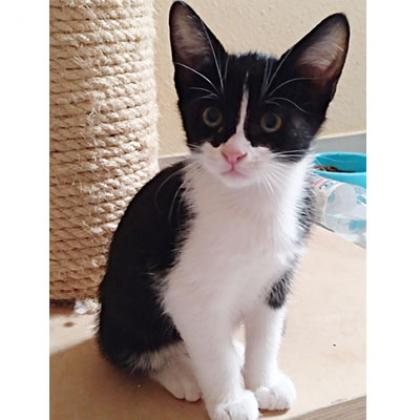 Maxcotea | Foto de Angelina - Gato, Raza: Abisinio | Maxcotea, Adopción de mascotas. Adopción de perros. Adopción de gatos.