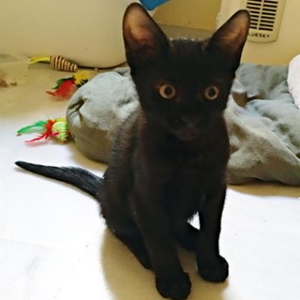 Maxcotea | Foto de Pitt - Gato, Raza: Abisinio | Maxcotea, Adopción de mascotas. Adopción de perros. Adopción de gatos.
