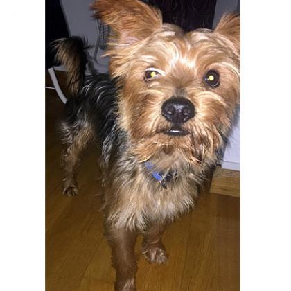 Maxcotea | Foto de Chewee - Perro, Raza: Yorkshire terrier | Maxcotea, Adopción de mascotas. Adopción de perros. Adopción de gatos.