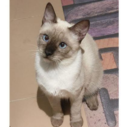 Maxcotea | Foto de Baby - Gato, Raza: Siames | Maxcotea, Adopción de mascotas. Adopción de perros. Adopción de gatos.