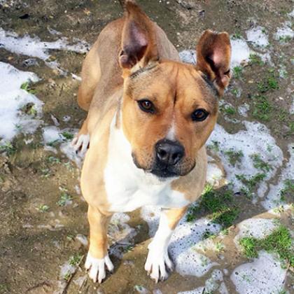 Maxcotea | Foto de África - Perro, Raza: American Staffordshire | Maxcotea, Adopción de mascotas. Adopción de perros. Adopción de gatos.