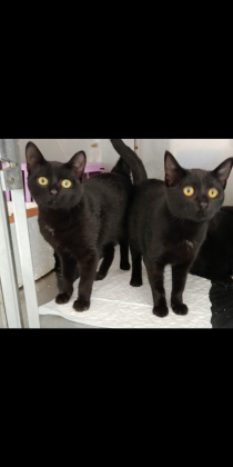 Maxcotea | Foto de Clark y Kent - Gato, Raza: Abisinio | 🌸Clack y Kent🌸 | Maxcotea, Adopción de mascotas. Adopción de perros. Adopción de gatos.