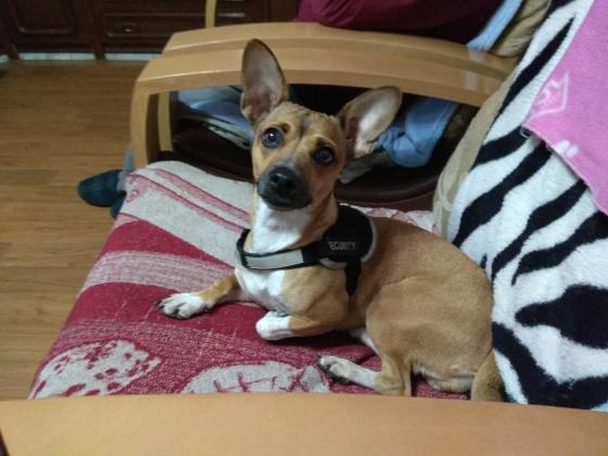 Maxcotea | Foto de LOLA - Perro, Raza: Chihuahua | Pequeña Lola | Maxcotea, Adopción de mascotas. Adopción de perros. Adopción de gatos.
