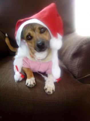 Maxcotea | Foto de LOLA - Perro, Raza: Chihuahua | LOLA-NAVIDAD | Maxcotea, Adopción de mascotas. Adopción de perros. Adopción de gatos.