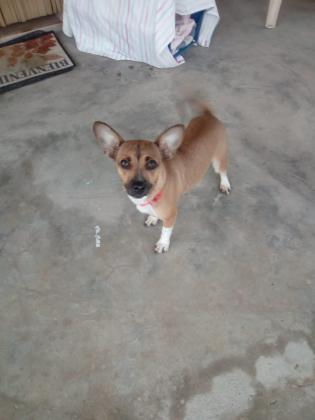 Maxcotea | Foto de LOLA - Perro, Raza: Chihuahua | LOLA-2019 | Maxcotea, Adopción de mascotas. Adopción de perros. Adopción de gatos.