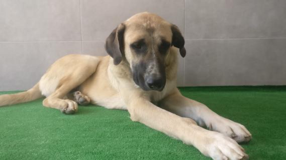 Maxcotea | Foto de ALADAN - Perro, Raza: Mastein | ALADAN | Maxcotea, Adopción de mascotas. Adopción de perros. Adopción de gatos.