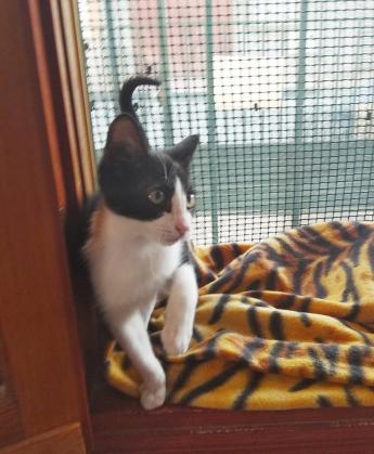 Maxcotea   Foto de Leo - Gato, Raza: Gato común europeo   Maxcotea, Adopción de mascotas. Adopción de perros. Adopción de gatos.