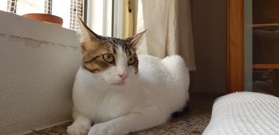 Maxcotea | Foto de Thor - Gato, Raza: Gato común europeo | Maxcotea, Adopción de mascotas. Adopción de perros. Adopción de gatos.